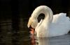 http://www.vchauphotography.com/wp-content/uploads/2012/01/A-Calm-Swan-in-a-Pond.jpg