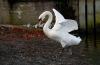 http://www.vchauphotography.com/wp-content/uploads/2012/01/dancing-swan.jpg