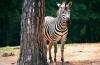 http://www.vchauphotography.com/wp-content/uploads/2012/02/Zebra-pine-mountains-atlanta1.jpg