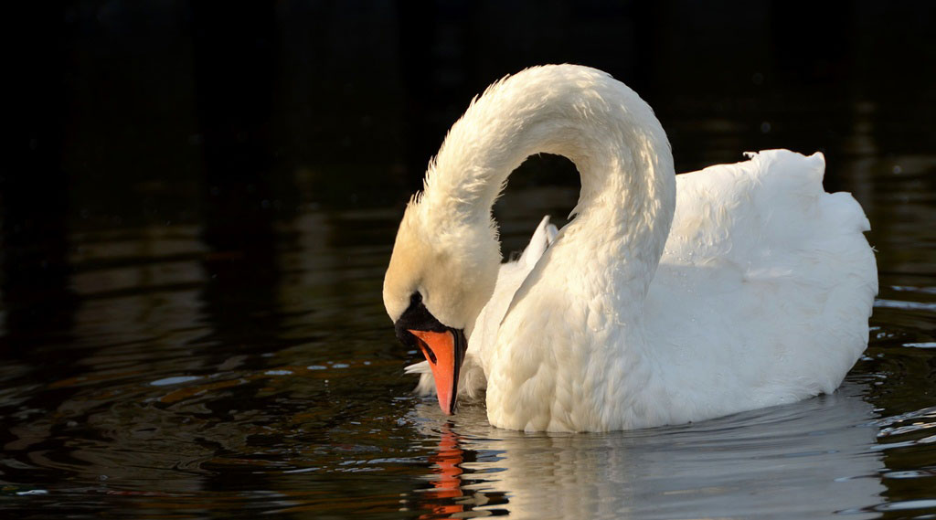 A  Calm  Swan  in  Lake  District,   United  Kingdom