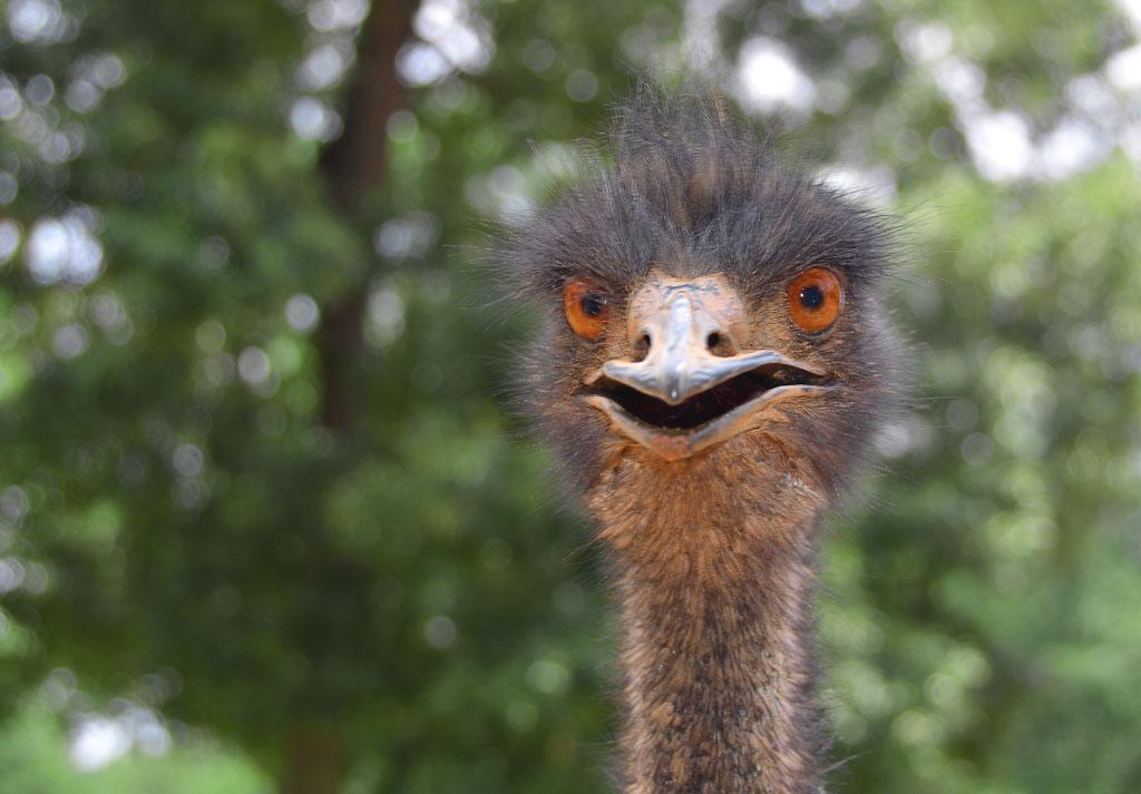 Emu ,  Pine  Mountains  –  Atlanta,  USA